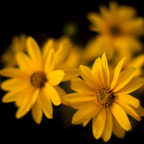 gold in the night by Lara Zanarini - Nature Up Close Flowers - 2011-2013 ( blurred, macro, color, lara, yellow, gold, close-up, flower, black, zanarini )