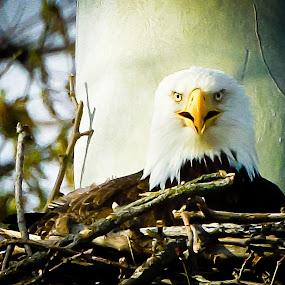 Eagle Stare by Scott Turnmeyer - Animals Birds ( eagle, stare, nest, bald )