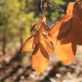 Autumn is beautiful by Bilyana Stoyanovska - Nature Up Close Leaves & Grasses ( nobody, orange, autumn leaves, wood, beautiful, forest, yellow, leaf, landscape, leaves, bokeh, sun, tree, autumn, fall, brown, gold,  )