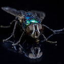 Blow Fly