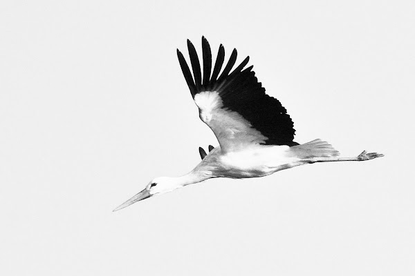 Cicogna bianca di Wilmanna