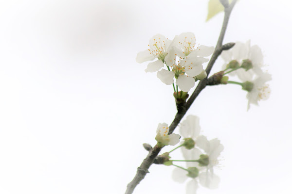 Fiore di biancospino di ScrofaniRosaria