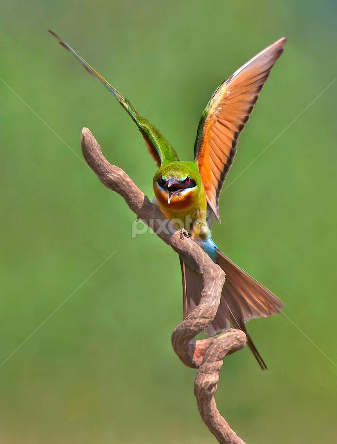 BEE EATER by Subramanniyan Mani - Animals Birds