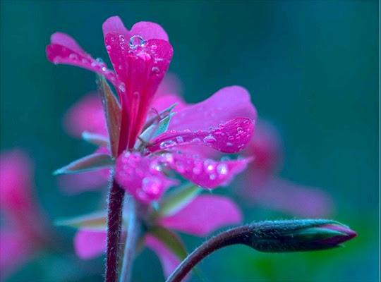 Geranio e pioggia di caterina_romeo