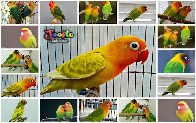 LoveBird Bird's chirp - screenshot