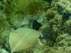 "Photo: Pseudochromis aureus (""Black"" Yellow Dottyback), Siquijor Island, Philippines"