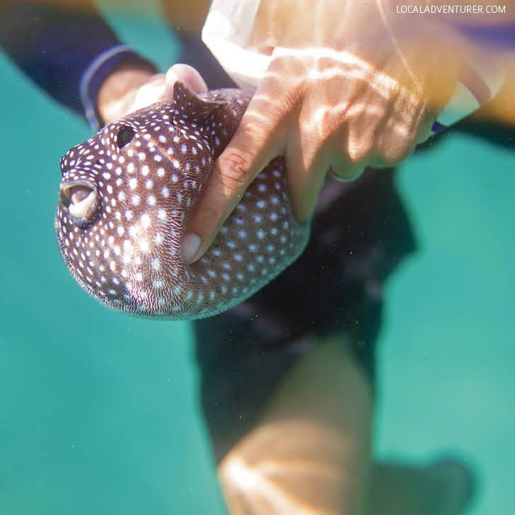 Guineafowl Puffer Fish Cabo (Arothron meleagris).