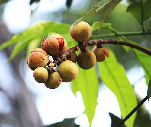 Chemmaram, Pithraj Tree