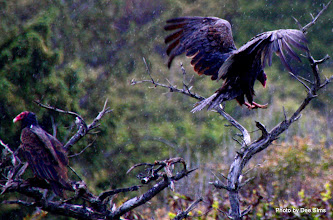 Photo: (Year 2) Day 356 - Turkey Vulture Landing in the Rain (USA)