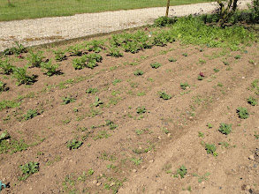 Photo: Spuds! The bigger earlies are Belle de Fontenay and the smaller ones are maincrop Desiree. Ignore the weeds, they'll be gone when I earth them up. Self seeded coriander in the background.