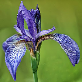 Blue Iris by Janez Podnar - Flowers Flowers in the Wild (  )