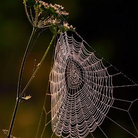 * * *  by Katka Kozáková - Nature Up Close Webs ( sunny day, web, morning,  )