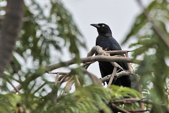 Photo: Greater Antillean Grackle