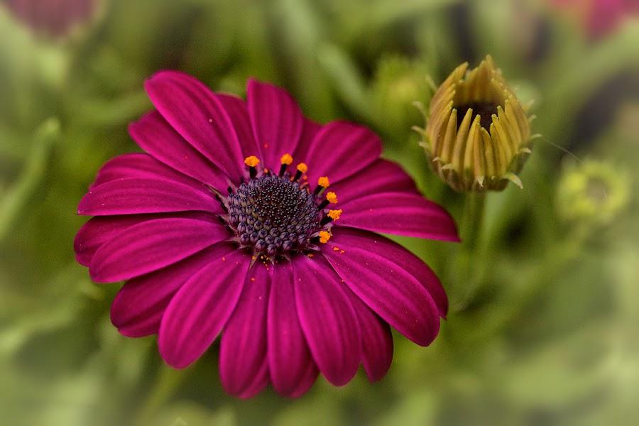 Two generations by Radu Eftimie - Flowers Single Flower ( purple, garden, flower,  )