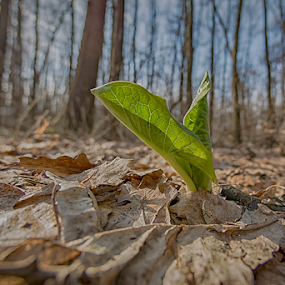 Spring Is Coming by Nitescu Gabriel - Nature Up Close Leaves & Grasses ( europe, green, beautiful, romania, forest, leaf, leaves, spring, bucharest, european, tree, fresh, trees, springtime,  )