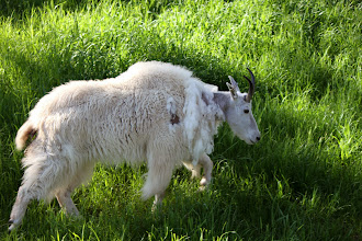 Photo: 07/06/2013 - Bear Country Park, Rapid City, South Dakota - Mountain Goat