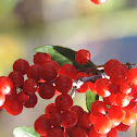 Yaupon Holley berries