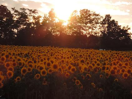落日のひまわり畑