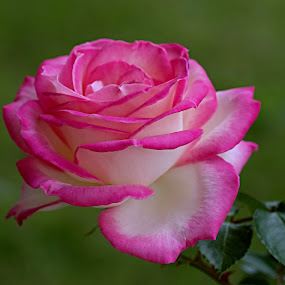 by Vino P - Flowers Single Flower