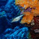 Caribbean sharp-nose puffer