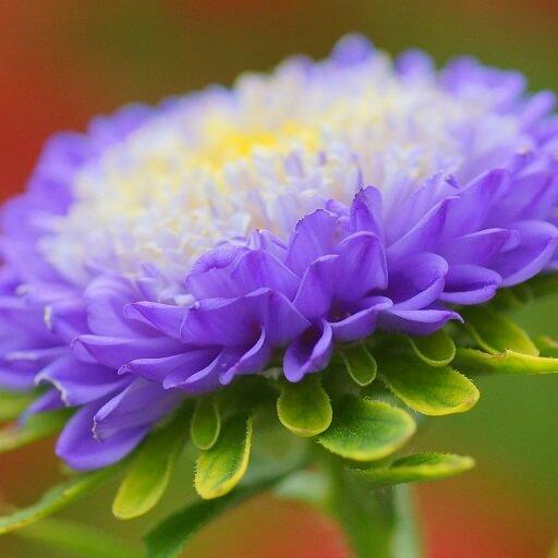 Aster Wallpapers HD 遊戲 App LOGO-硬是要APP