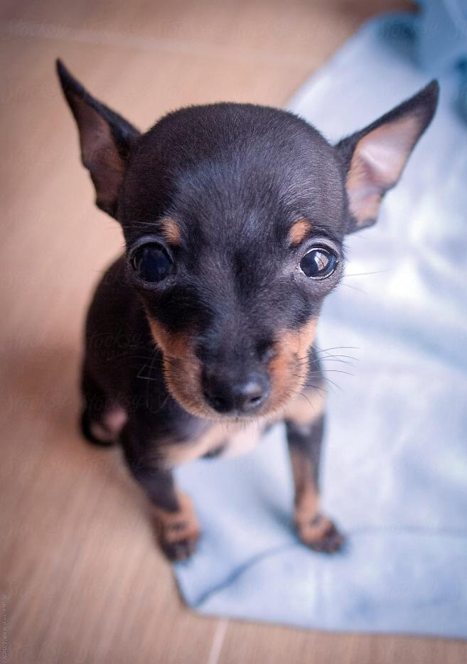 Puppy From Prague Ratter by ACALU Studio