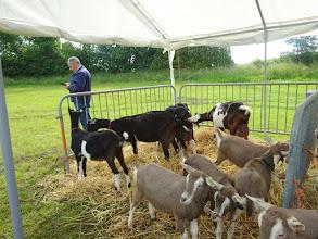 Photo: Inzending bonte geiten van C. Sterk.