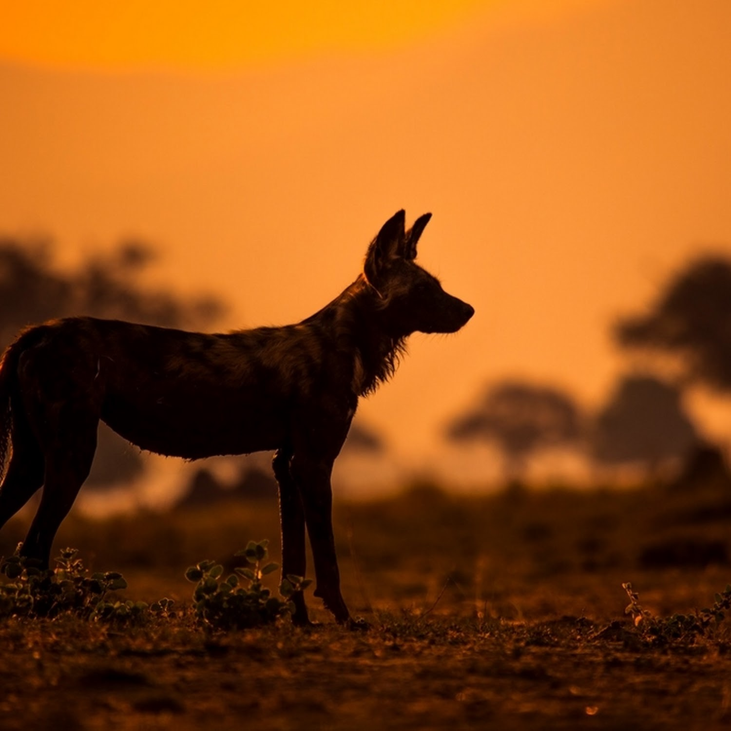 Travel Podcast Three Years With A Pack Of African Wild Dogs
