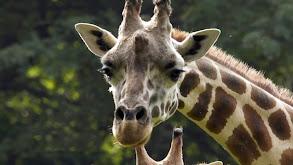 Giraffe in the City thumbnail
