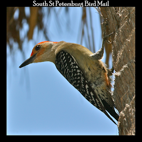 { Red Headed Downy Wood Pecker ~ Bird Mail Stamp }  by Jeffrey Lee - Typography Captioned Photos ( { red headed downy wood pecker ~ bird mail stamp },  )