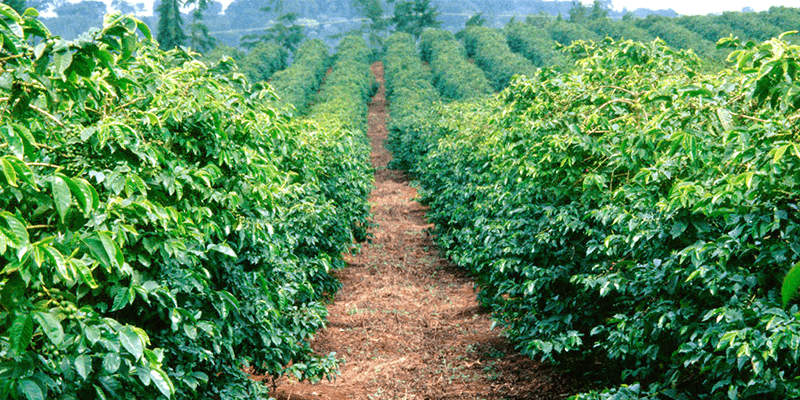 Chikmagalur coffee tourism