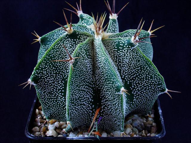 Astrophytum ornatum var.mirbelli | cactófilos