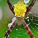 St. Andrew's Cross spider