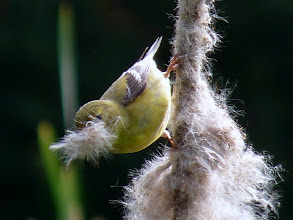 Photo: Female American Goldfinch gathering nesting material from a bullrush on the fire pond: http://www.allaboutbirds.org/guide/american_goldfinch/id
