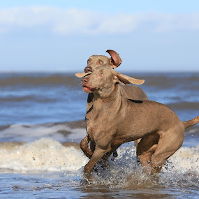 I'll get it! by Dave Roberts - Uncategorized All Uncategorized ( hunting dogs, gun dogs,  )