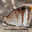Manipur Lepidoptera