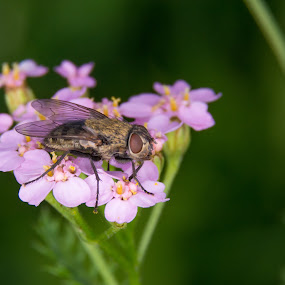 Fly on the flower by Aleš Mezek - Animals Insects & Spiders ( fly, fly on the flower, fly and flower, flower )