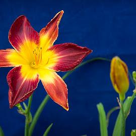 A Daylily by Ken Smith - Flowers Flower Gardens ( daylily )