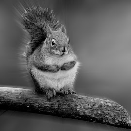 Petit squirrel americain by Gérard CHATENET - Black & White Animals