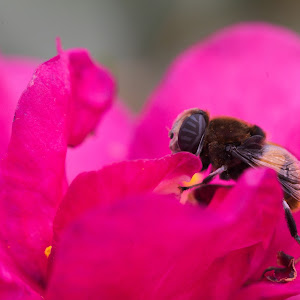 _K1D8487 Bee on Flower2.jpg