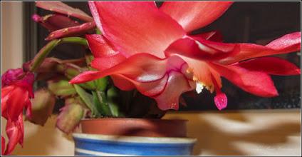 """Photo: Cactusul de Craciun (Schlumbergera) -  Poate inflori """"la comanda"""" si are nevoie de somnul de frumusete""""  Obs. Nu este un cactus propriuzis ci o planta suculenta  Str. Rapsodiei, la bloc - 2019.01.23"""