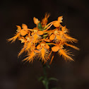 Orange-Fringed Orchid
