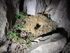 Photo: Awesome pack rat nest