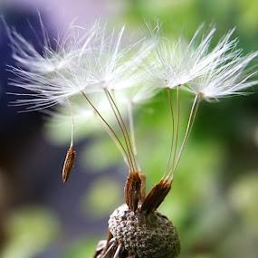 Dandelion by Manuela Dedić - Nature Up Close Other plants ( plant, nature, dandelion, white, flower,  )