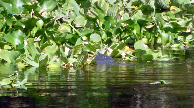 Photo: A manatee in the creek at the house