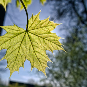 Leave sunbath by Ciddi Biri - Nature Up Close Leaves & Grasses ( macro, details, leave, sun )