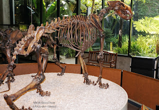 Photo: The short-faced bear or bulldog bear (Arctodus simus) is an extinct genus of bear endemic to North America during the Pleistocene ~3.0 million to 11,000 years ago.