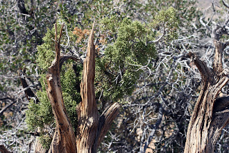 Photo: Juniperus cf. californica