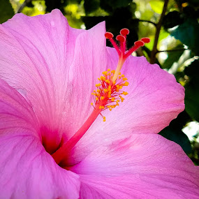 Pink Hibiscus Flower by Anne LiConti - Flowers Single Flower ( #hibiscus, #mobilecapture, #mobilephotography, #pinkhibiscusflower, #hibiscusflower, #singleflower, #macrophotograpby, #phonephotography, photography, #pinkflower, #flower )