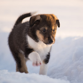 by Anngunn Dårflot - Animals - Dogs Puppies
